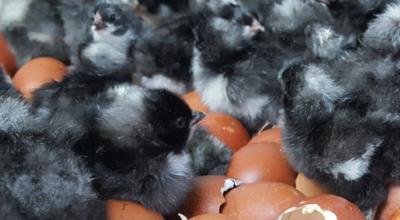 French Cuckoo Maran Chicks