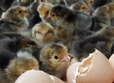 Buff Brahma Chicks