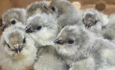Lavender Ameraucana Chicks