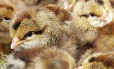 Olive Egger Chicks
