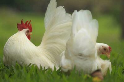 White Japanese Bantam Chicks