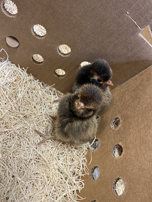 Gold Laced Polish Chicks