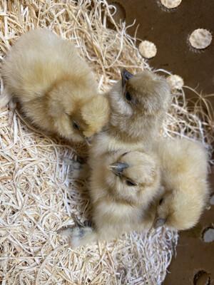 Buff Silkie Bantam Chicks