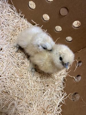 White Silkie Bantam Chicks