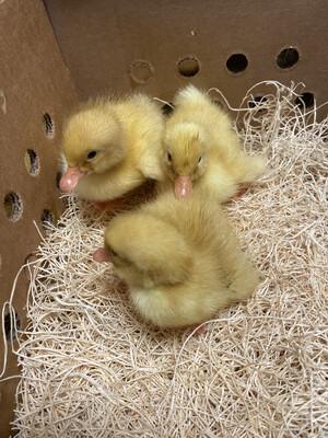 White Pekin Ducklings