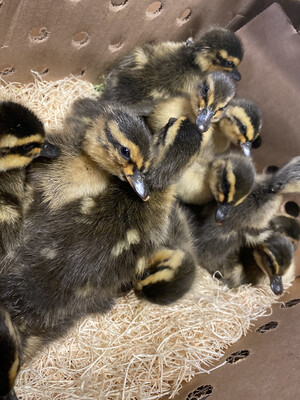 Rouen Ducklings