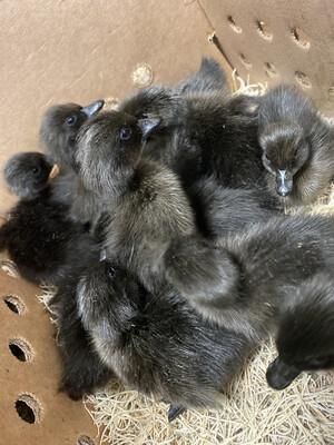 Cayuga Ducklings