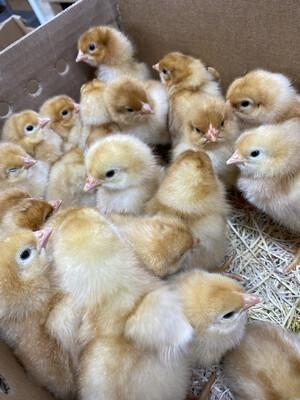 Golden Comet Chicks