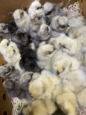 Hatchery Choice Silkie Bantam Chicks