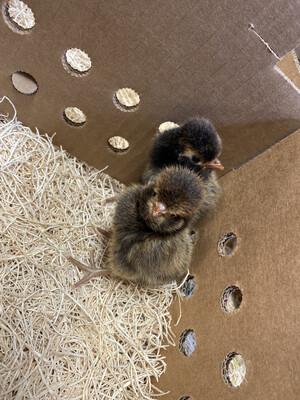 Hatchery Choice Polish Chicks