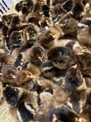 Barnevelder Chicks