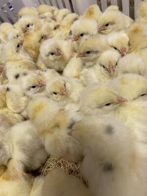 Austra-White Chicks