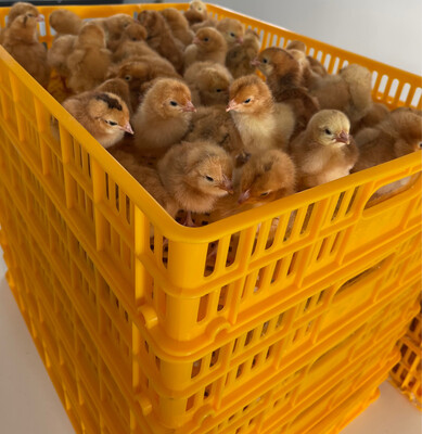 Valley Farms Red Broiler Chicks