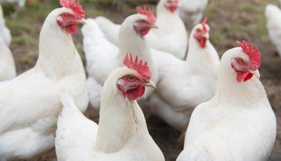 Rhode Island White Chicks
