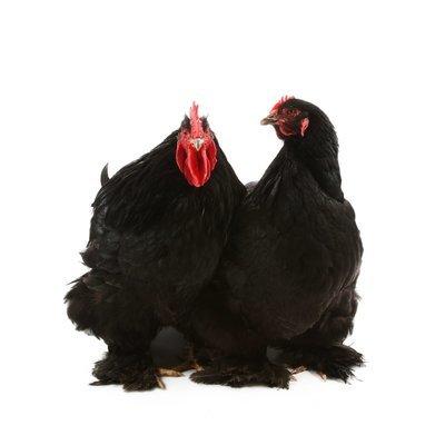 Black Cochin Bantam Chicks