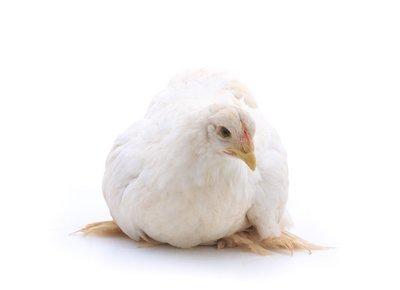 White Cochin Bantam Chicks