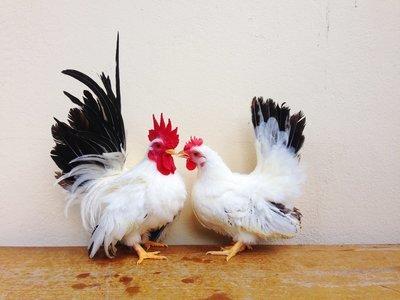 Black Tail White Japanese Bantam Chicks