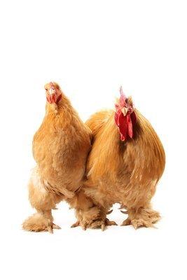 Standard Size Buff Cochin Chicks