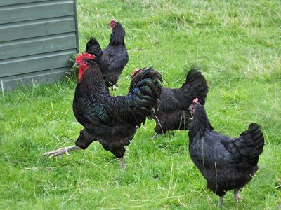 Jersey Black Giant Chicks