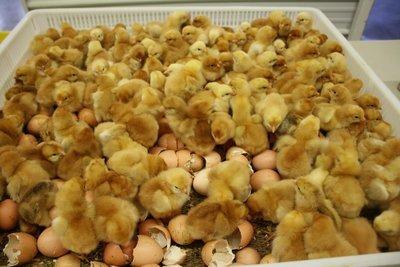 Freedom Ranger Chicks