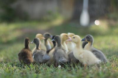 Hatchery Choice Ducklings