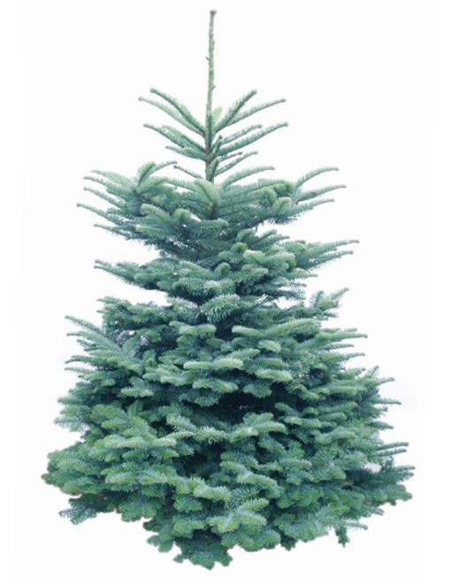 Noble Fir from