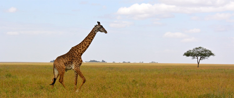 Signed Print: Lone Giraffe on Serengeti