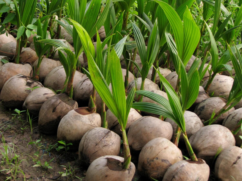 Baby Coconut Tree