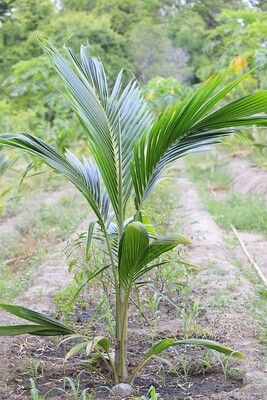Young Coconut Tree - 3-4 feet