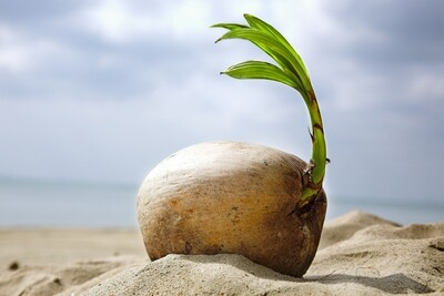 Coconut Sprout / Seedling - With Husk