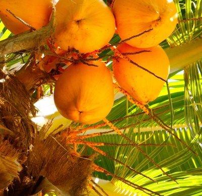 Orange KING - Fresh Organic Young Coconut - Box of 8