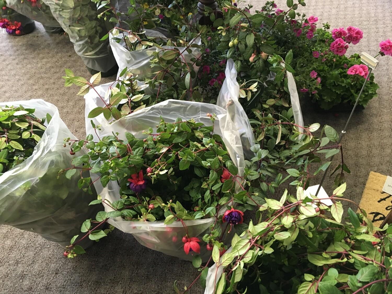Fuscia Plant.  Just Beautiful!