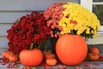 Mums are here! Send a Mum and some Chocolates for a Thinking of you, Birthday or any occasion.  Happy Fall!