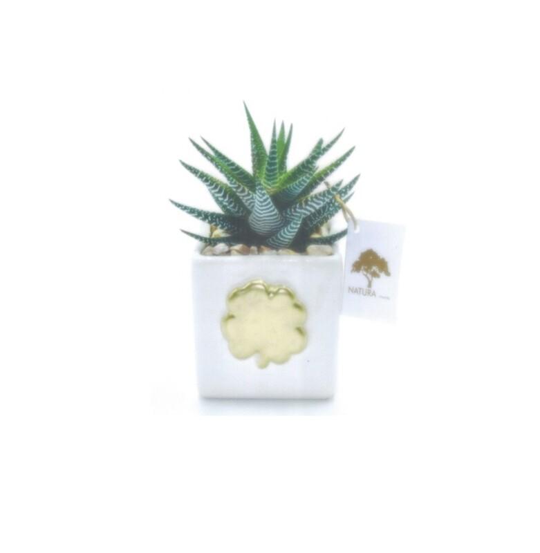 Vaso cubo con pianta Haworthia Pz. 1