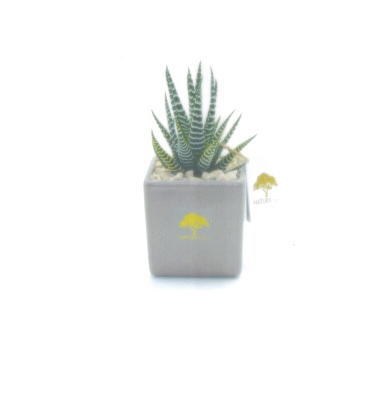 Vaso cubo piccolo soft touch con pianta haworthia zebrata Pz. 1