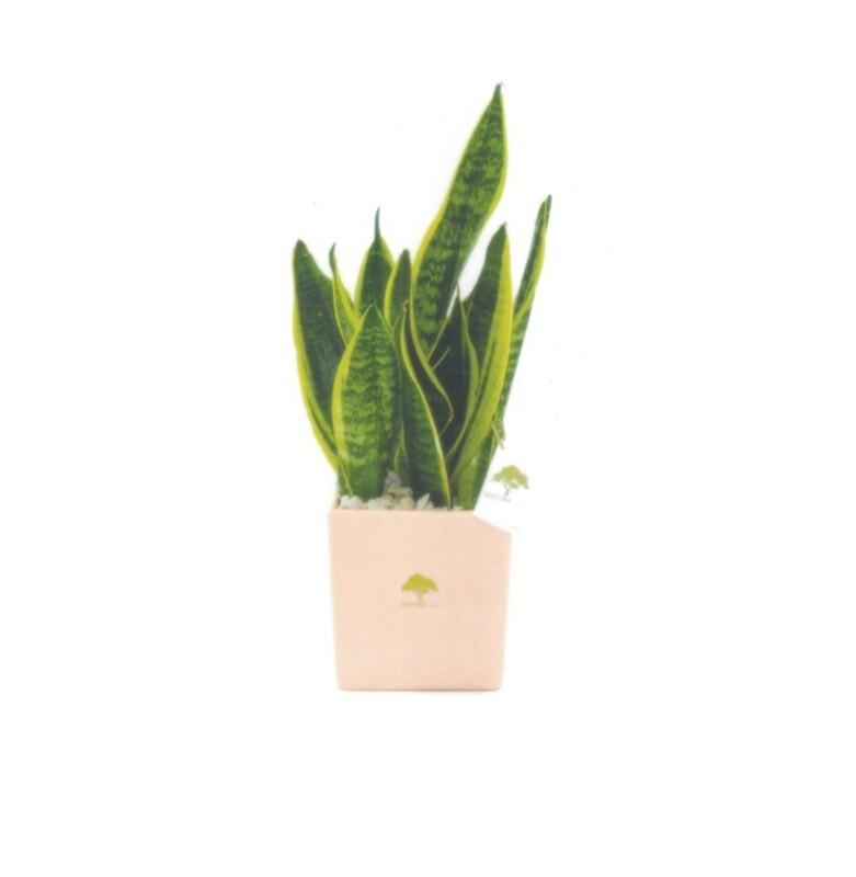 Vaso cubo grande soft touch con pianta sansevieria Pz. 1
