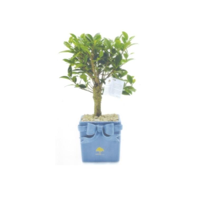 Vaso cubo fiocco grande con pianta ficus Pz. 1