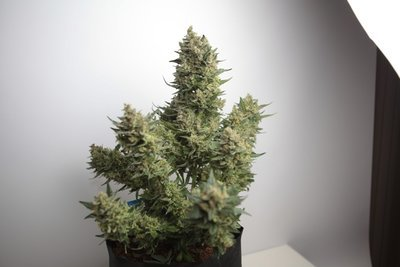 Auto Pineapple Candy