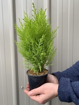 Mini evergreens 4