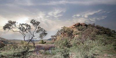 Leopard Pace #3