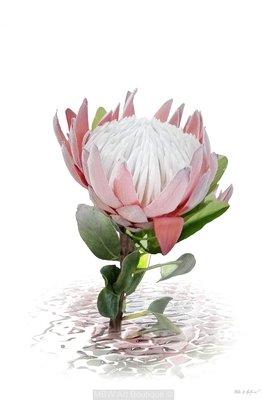 Protea A