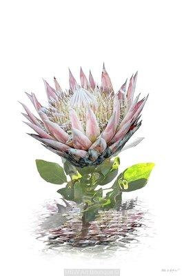 Protea B
