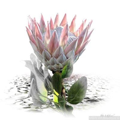 Protea C