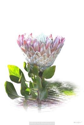 Protea D