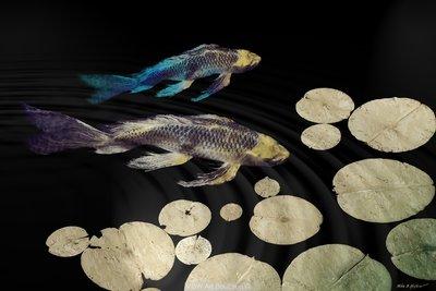 Tranquillity Koi Golden with (Blue/Crimson/Jade)
