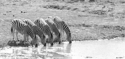 Zebra Penta (B&W)