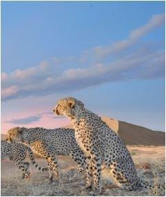 Cheetah pack (Crop)