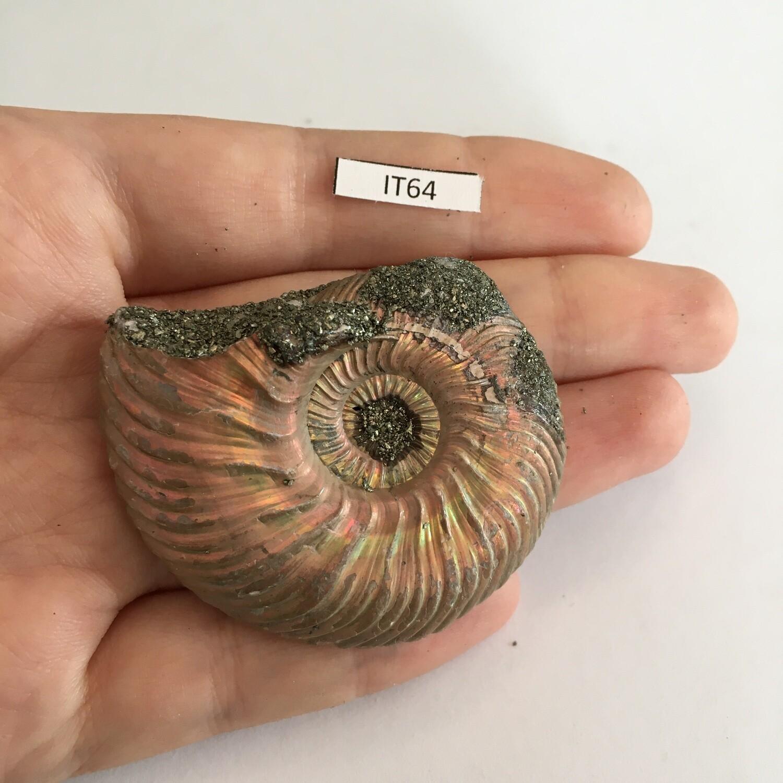Ammonite Saratov
