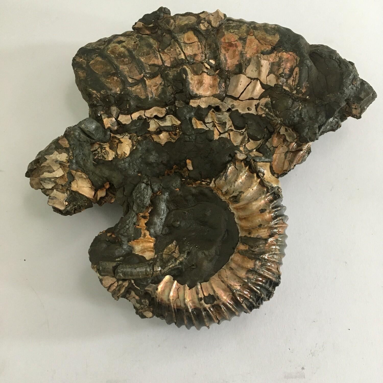 Madagascar ammonite