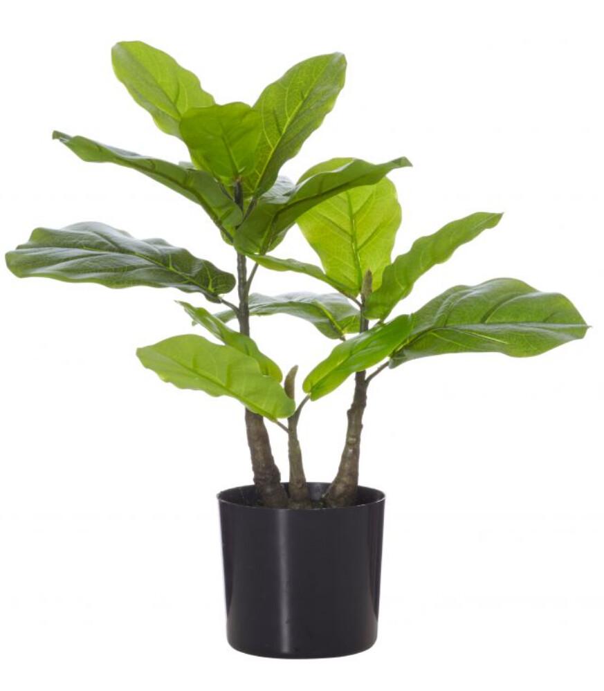 FIDDLE PLANT 50CM